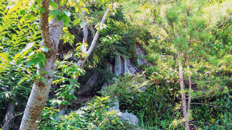 弁天山に残る御神木の松の木の幹