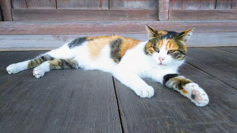 拝殿で寝転ぶ猫